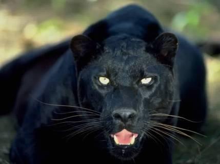 Black-Panther-dustfingerlover-12824813-1024-768